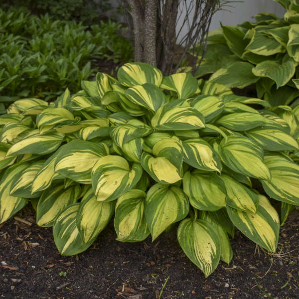 Rainbow's End Hosta of the Year 2021